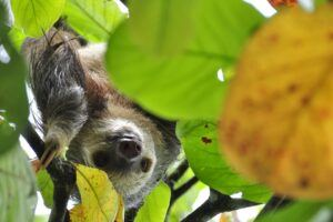 Sloth in tree