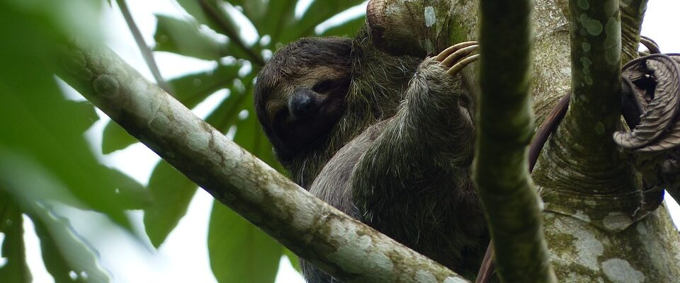 Sloth in trees