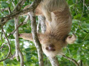 Sloth Upside Down