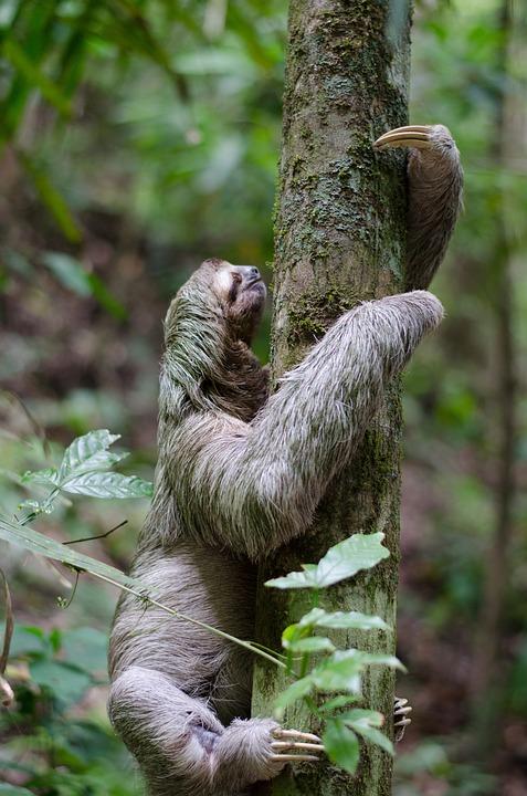 Sloth and tree